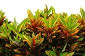 stock photo of crotons  - Codiaeum variegatum leaves isolated on white background - JPG