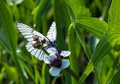 Black-veined White Butterfly At White Flower