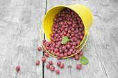Gooseberries Spill Out Of The Bucket