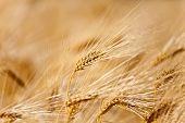 Yellow Ear Of Wheat