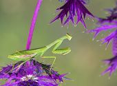Praying Mantis On Purple Wildflowers