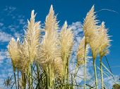 stock photo of pampa  - Group of pampas grass  - JPG