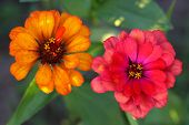 The Zinnia are a multi-colored flower