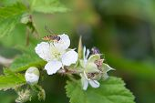 Blossoming Blackberry And Bee
