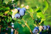 Blueberries ripening on the bush