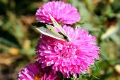 Butterfly on the aster