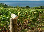 Vineyards In Croatia