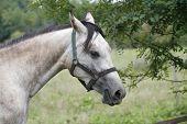 image of horses eating  - Gray horse eating tree leaves in the meadow - JPG