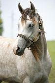 Purebred arabian horse posing on pasture