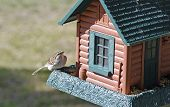 Chipping Sparrow (spizella Passerina)  On Birdfeeder