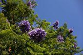 Blue Jacaranda, Southern California