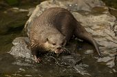 Asian Short-clawed Otter On Rock Looking Up