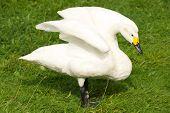 Whooper Swan With Yellow Beak Stretching Wings