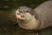 Close-up Of Asian Short-clawed Otter Looking Up