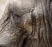 Close Up Facial Portrait Of African Elephant Loxodonta Africana