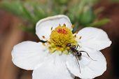 Ant Strawberry Blossom
