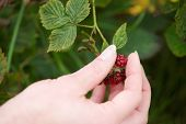 Hand Picking Red Berry Fruit From Plant