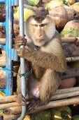 Monkey Macaque Coconut Sit
