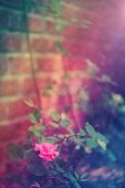 stock photo of climbing roses  - Pink rose by the brick wall in the garden - JPG