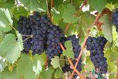Ripening Wine Grapes