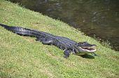 American Alligator, Hilton Head Island