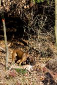 hunting dog with a catch in forest