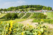 wine cellars with vineyards, Galgenberg, Lower Austria, Austria