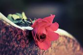 stock photo of tombstone  - Red rose on the tombstone - JPG
