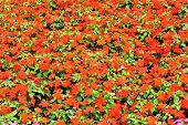 stock photo of begonias  - close up view on field full of red begonia flowers - JPG