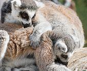 Lemurs Playing