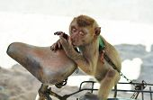 picture of chain  - Monkey on a chain on a bike - JPG