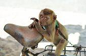 image of chains  - Monkey on a chain on a bike - JPG