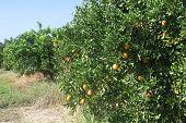 Orange Trees In Plantation