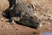 Big Crocodile Resting Riverfront Chobe Botswana Africa