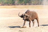 picture of cape buffalo  - Wild African Buffalo on the background of the earth in Kenya - JPG