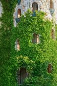 image of ivy vine  - Image Of The Ivy - JPG
