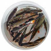 Fresh Fishes Rudd
