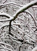 stock photo of twisty  - Labyrinth of twisty branches covered with fresh and fluffy snow - JPG