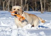 Yellow Labrador In Winter With An Orange Toy Portrait Close Up