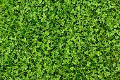 Green Grass And Shamrock Leaves Background