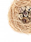 Nest with tiny quail eggs, isolated on white
