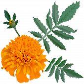 Realistic Illustration Of Orange Marigold Flower (tagetes) Isolated On White Background.