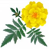 Realistic Illustration Of Yellow Marigold Flower (tagetes) Isolated On White Background