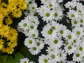 Oxeye daisy flower White and Yellow