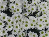 Oxeye daisy flower background