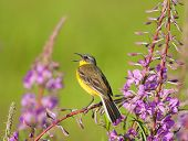 Yellow Wagtail on Fireweed flowers