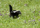 Skunk in Meadow with Purple Wildflowers
