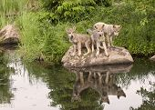 Three Wolf Pups with Lake Reflection