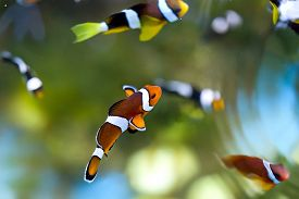 stock photo of clowns  - reef fish clown fish or anemone fish - JPG