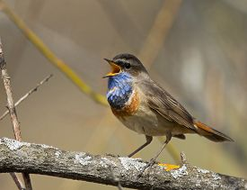 stock photo of nightingale  - Singing Bluethroat on the branch in spring - JPG